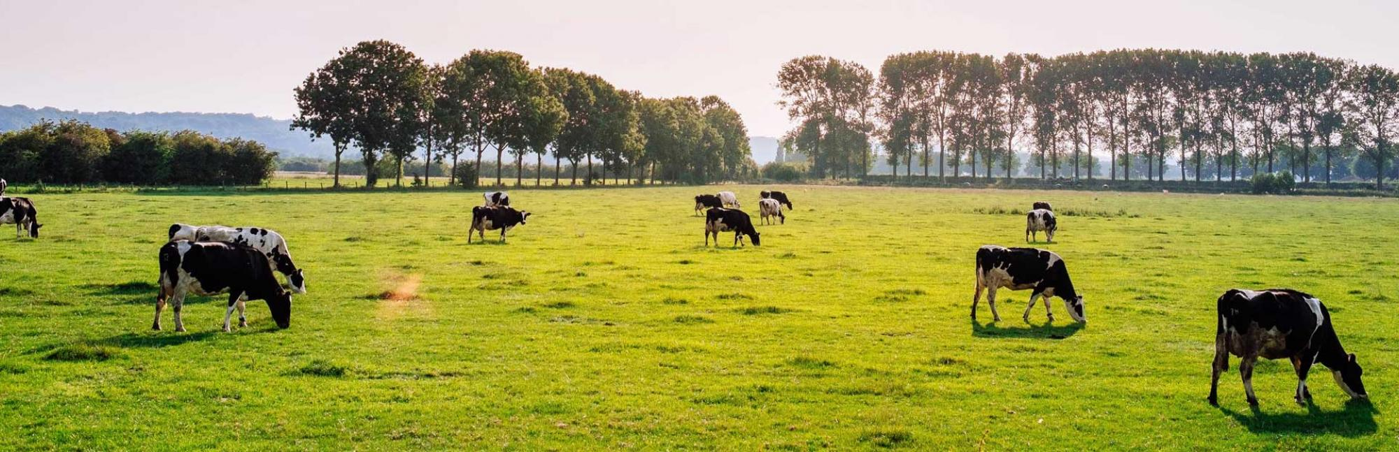 Tree-lined field of cows grazing