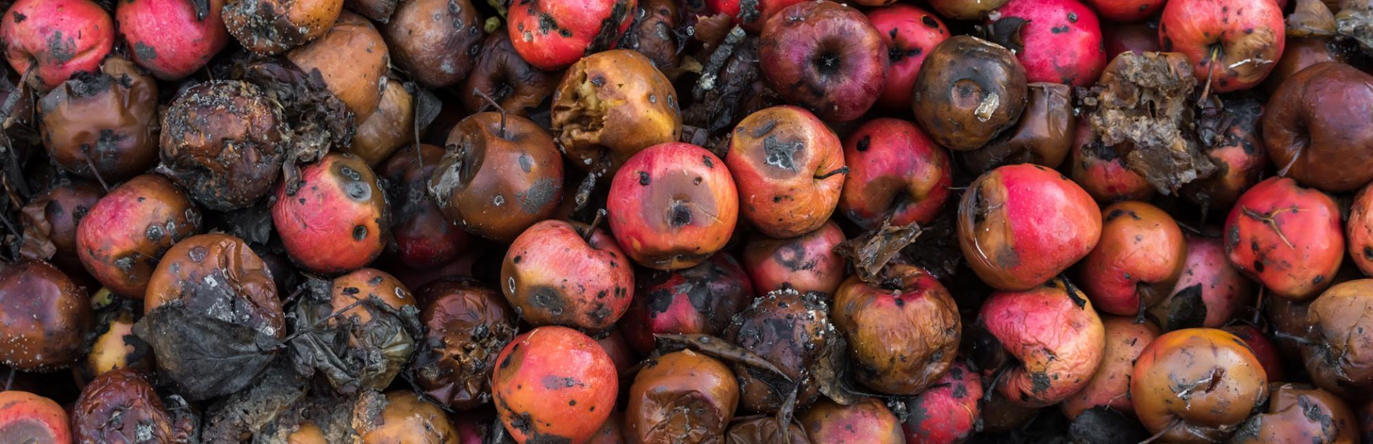 Pile of bruised and mouldy apples