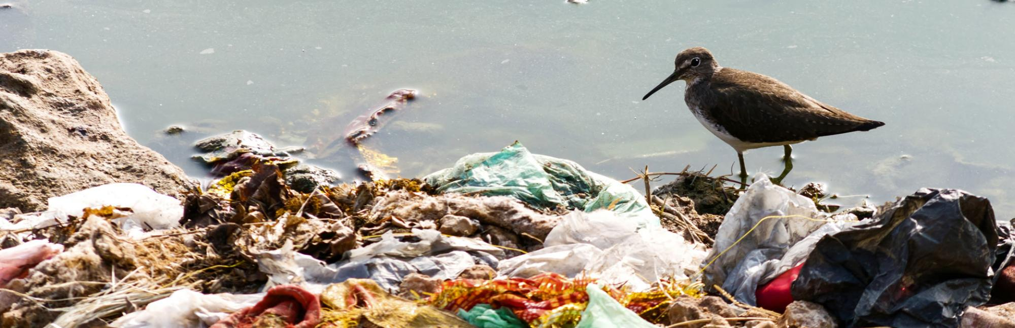 Sea bird on shore in piles of washed up rubbish