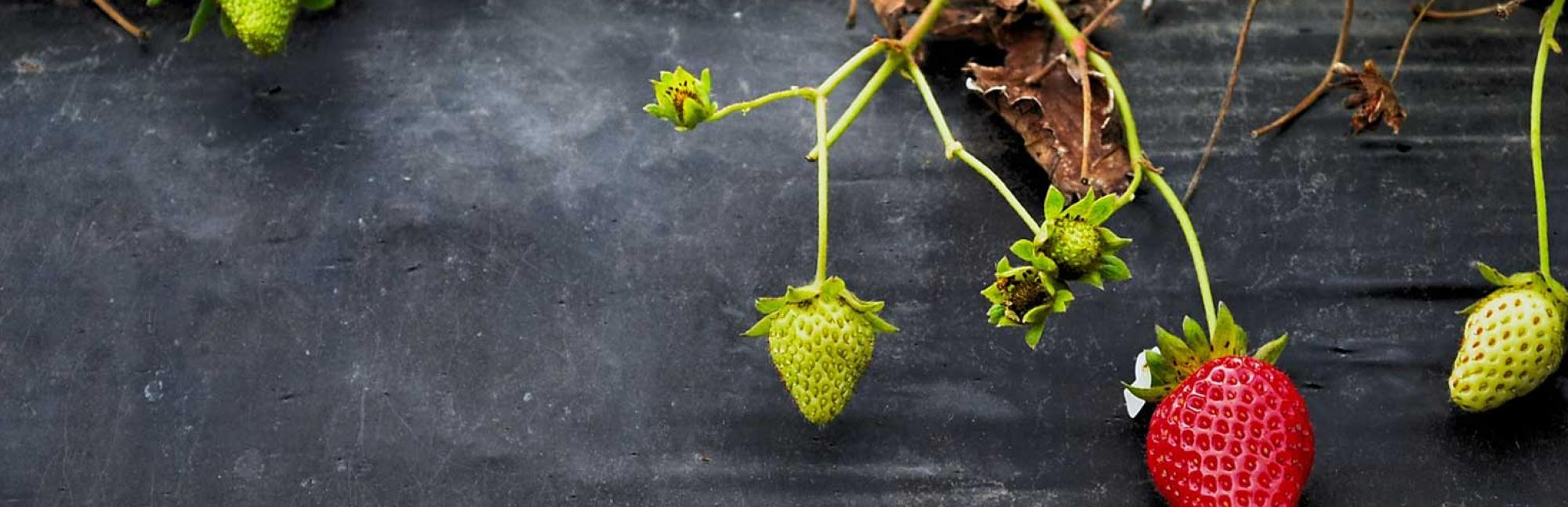 Strawberries growing on grey background