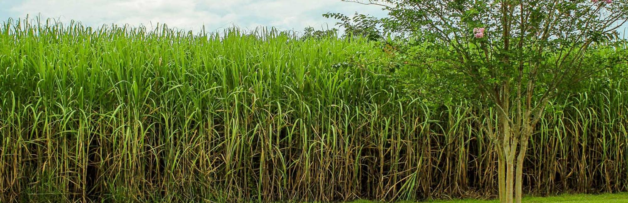 Sugar canes in farmed field